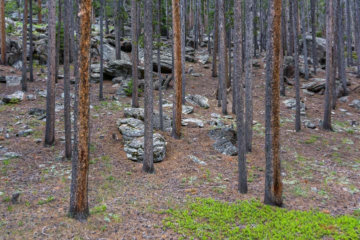 Ponderosa pines and rocks in Bighorn National Forest Wyoming