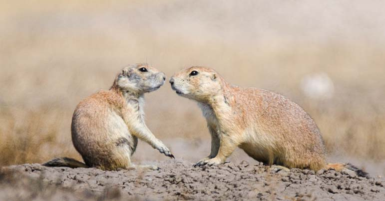 Two Prairie Dogs Badlands National Park South Dakota