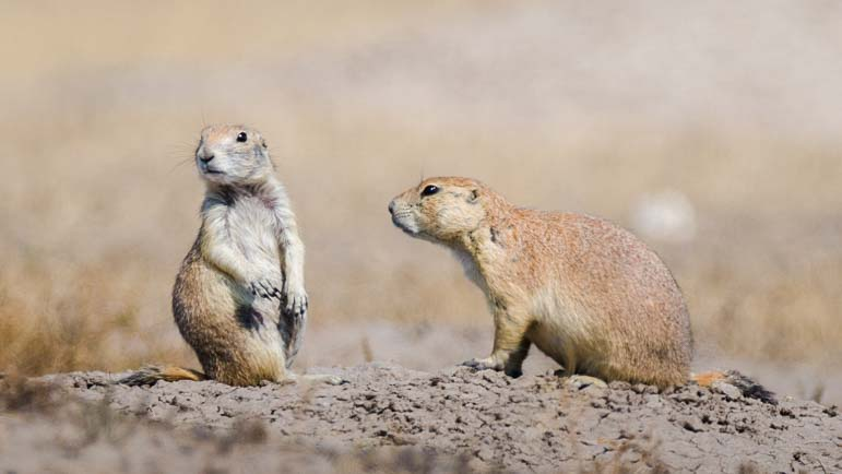 Prairie Dogs Badlands National Park South Dakota