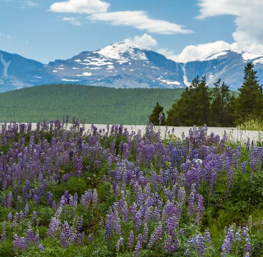 Lupine wildflowers Bighorn National Forest Bighorn Mountains Wyoming