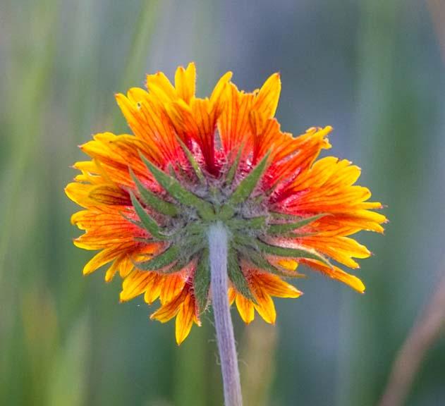 Backlit wildflower Bighorn National Forest Wyoming