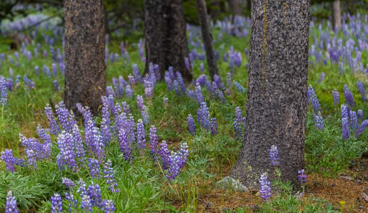 Lupine wildflowers surrounding tree trunks Bighorn National Forest Wyoming