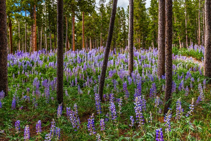 Ponderosa pine forest filled with lupine wildflowers Bighorn National Forest Wyoming