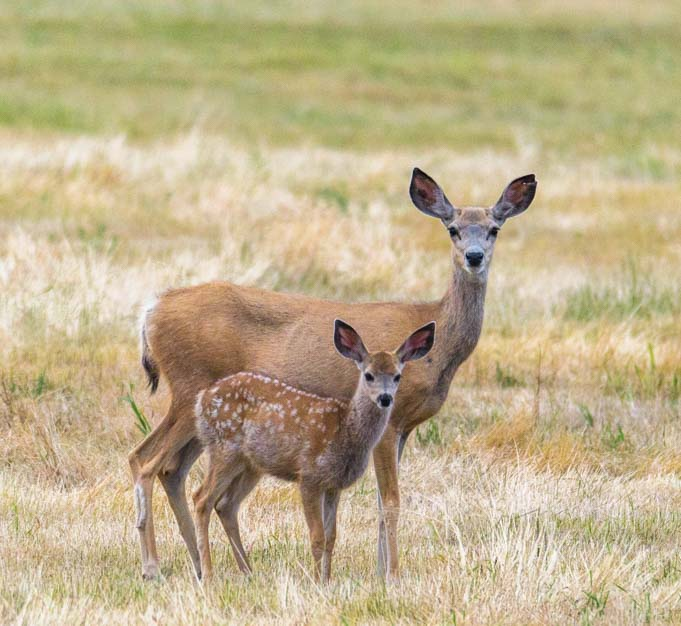 Doe and fawn Bud Love wildlife area Buffalo Wyoming