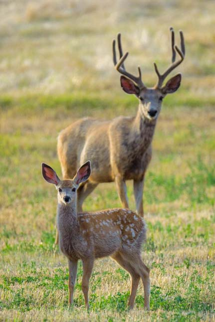 Buck and fawn Bighorn National Forest Wyoming