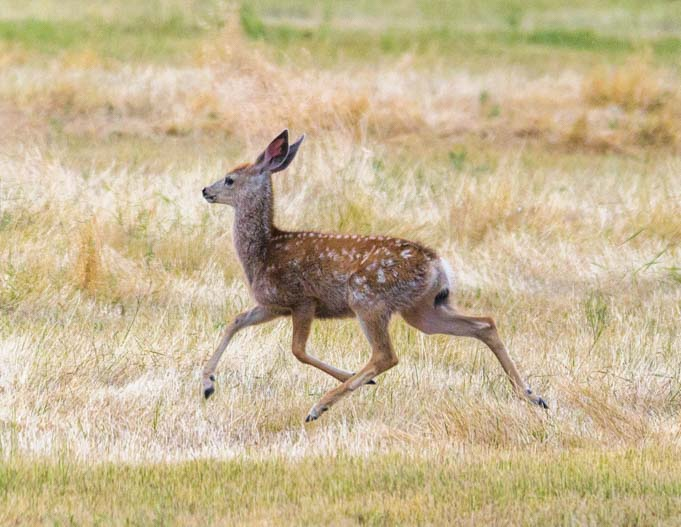 Running fawn Bud Love wildlife area Buffalo Wyoming