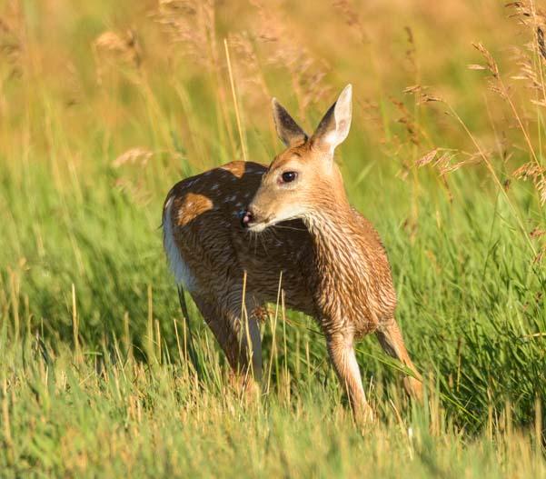 Scared fawn Bud Love wildlife area Buffalo Wyoming