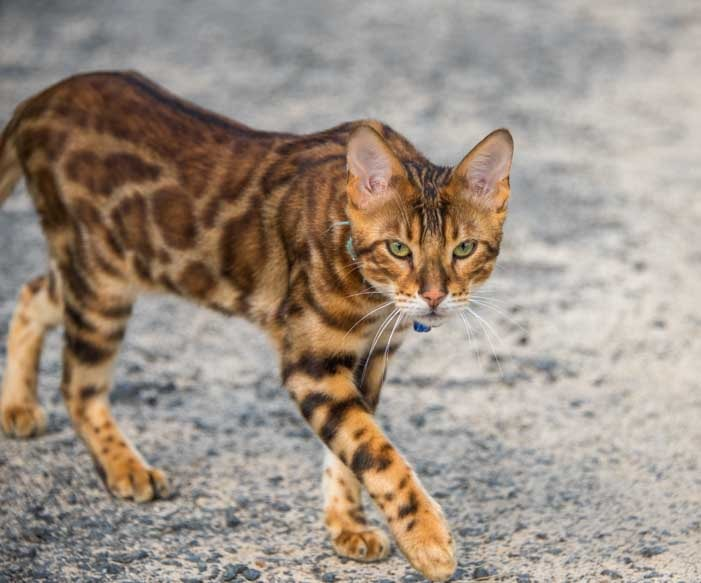 Exotic cat Moret sur Loing France-min