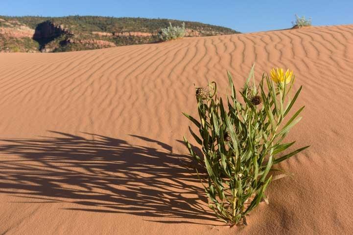 Wildflowers Coral Pink Sand Dunes State Park Utah RV trip-min
