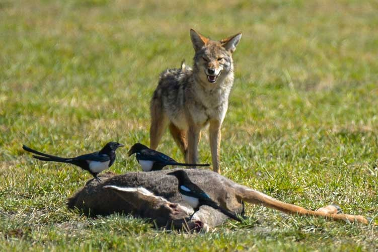 Coyote protects deer kill Kanab Utah-min