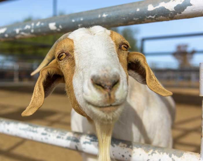 Goat watches a cowboy cattle sorting event-min