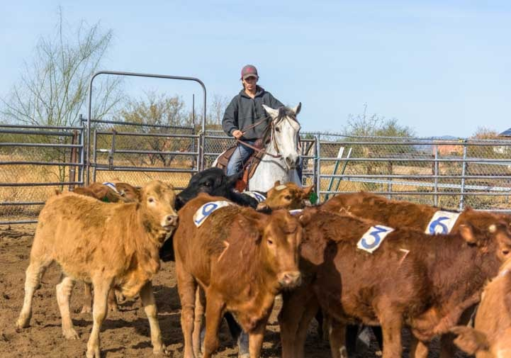Calf sorting event with cowgirl on horseback-min