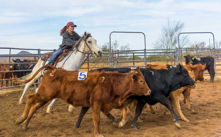 Cowgirl sorting calves on horseback in Arizona ranch-min