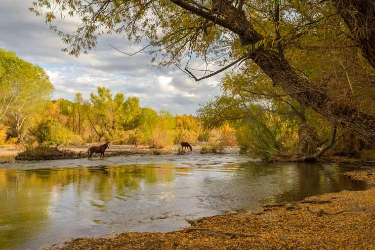 Wild horses on the Verde River in Arizona-min