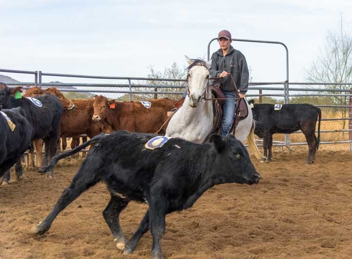 Calf sorting on horse in Arizona-min
