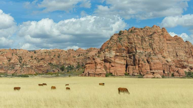 Cattle grazing Zion National Park Utah Kolob Canyons-min
