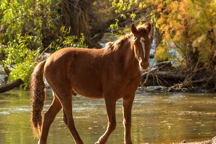 Wild horse in Verde River Arizona burrs in its tail-min