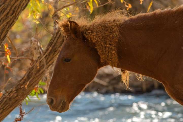 Arizona wild horse with burrs in its mane-min