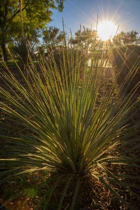 Yucca plant in Arizona-min