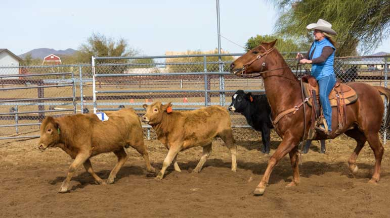 Calves running in cattle sorting cowboy event on Arizona Ranch-min