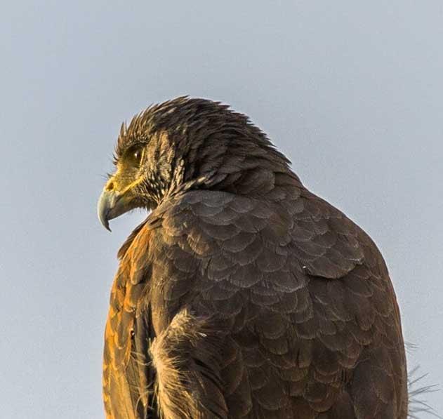 Harris Hawk on an RV trip to Lake Meade Utah-min