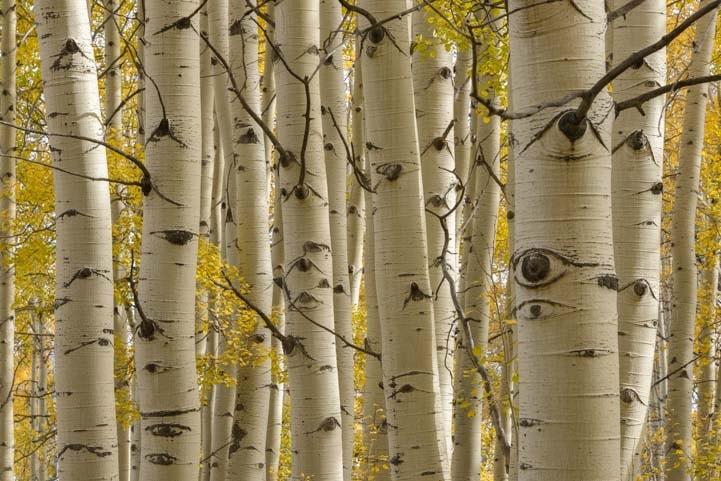 Aspen Trees Zion National Park Utah Kolob Canyons-min