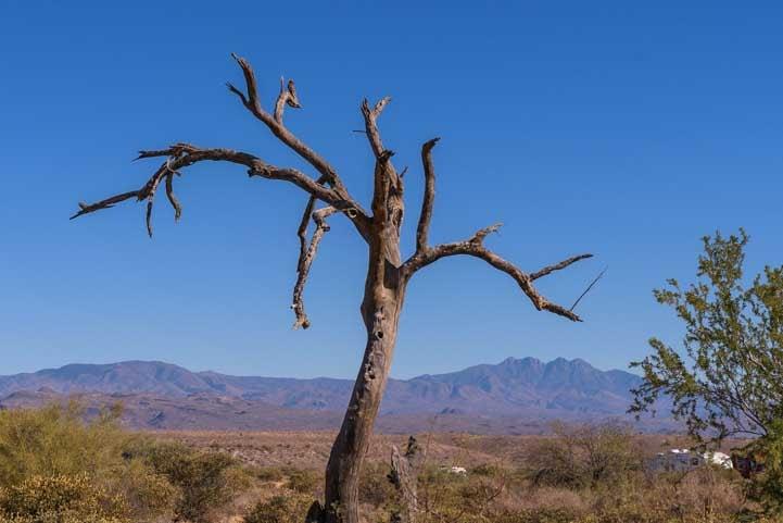 Dead tree in Arizona-min