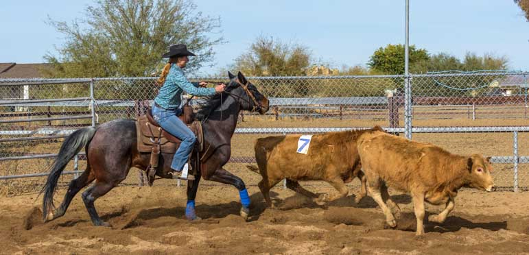 Cattle sorting event with cowgirl chasing calves-min