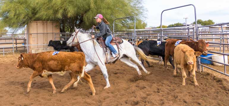 Cattle sorting event with cowgirl chasing calves in Phoenix Arizona-min