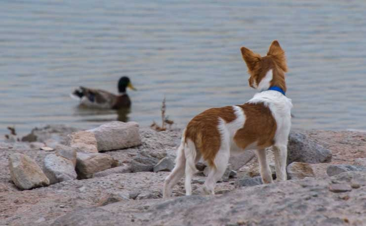 Puppy dog and duck at the lake-min