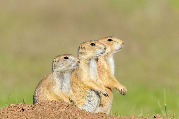Prairie Dogs in Custer State Park on a South Dakota RV trip-min