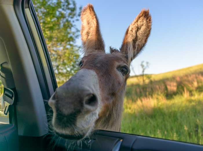 Wild burro looks in car window Custer State Park South Dakota RV tirp-min