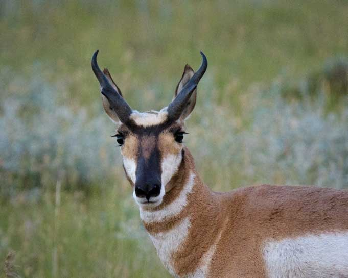 Pronghorn antelope in Wyoming-min