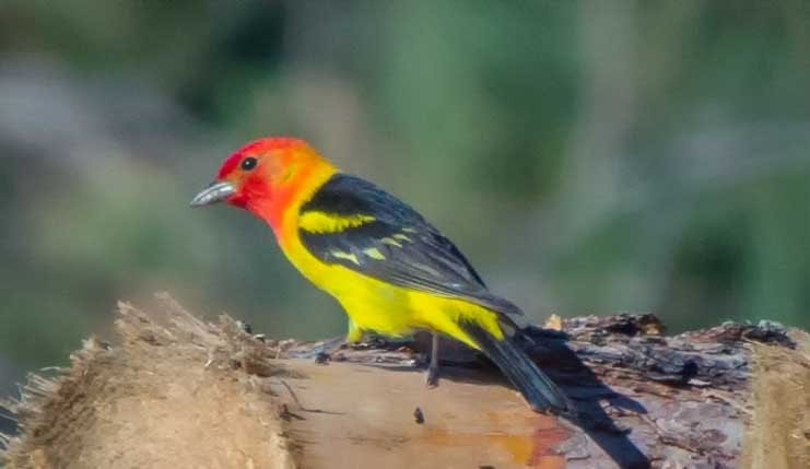 Western Tanager in Black Hills South Dakota RV trip-min