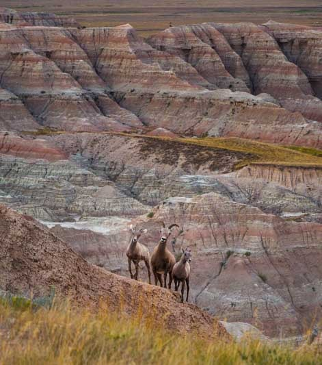 Big horn sheep in Badlands South Dakota-min