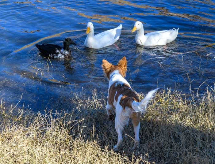 A puppy meets a group of ducks at Canyon Lake Arizona-min
