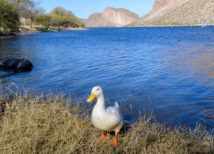 A duck waddles up to say hi at Canyon Lake Arizona-min