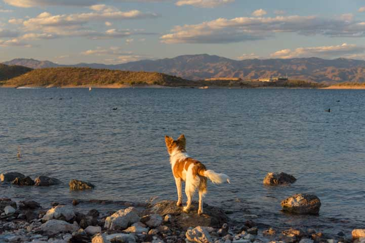 Dog looking at Lake Pleasant Arizona-min
