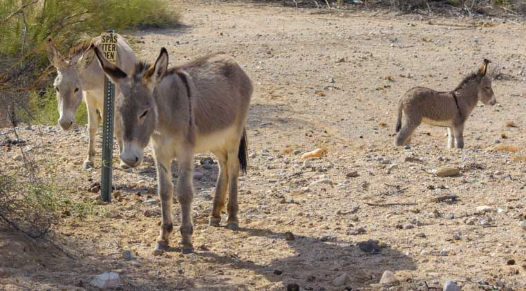 Wild burros of the Colorado River Parker Dam Arizona-min