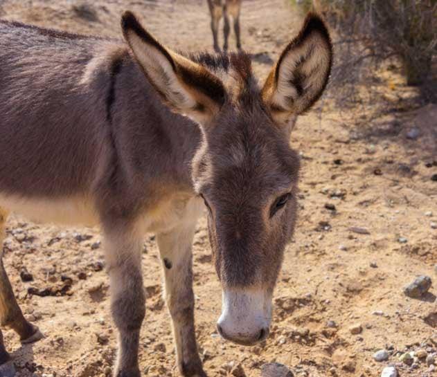Wild burro Parker Dam Road California-min