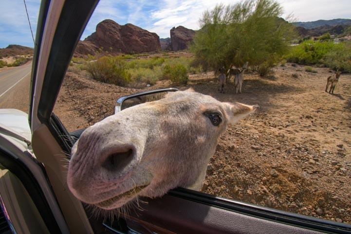 Wild burro looks into car at Colorado River Arizona RV trip