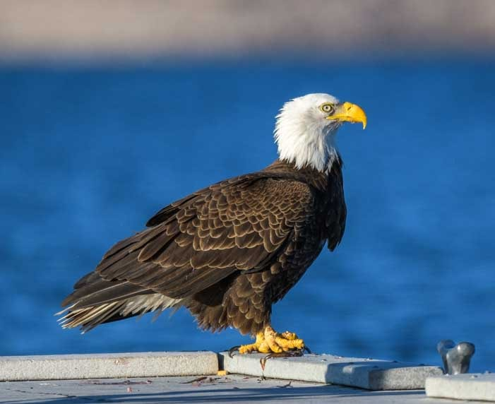 Bald eagle on the dock Lake Pleasant Arizona-min
