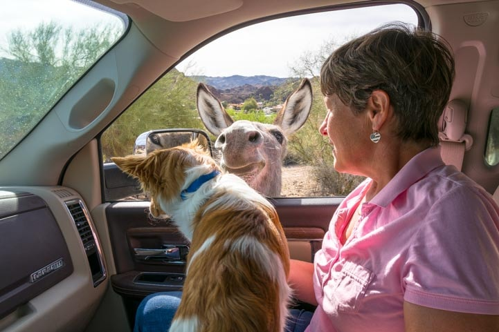 Wild burro at car window with puppy Parker Arizona RV trip
