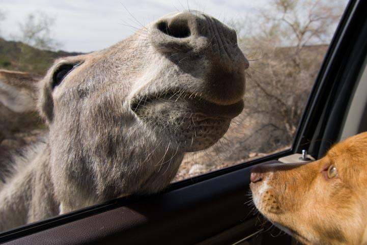 Wild Burro and Puppy Colorado River Arizona-min