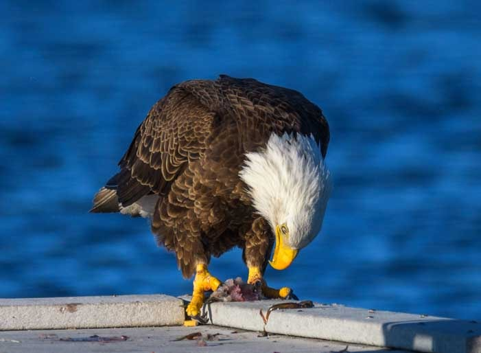 Bald eagle holds fish in feet at Lake Pleasant Arizona-min