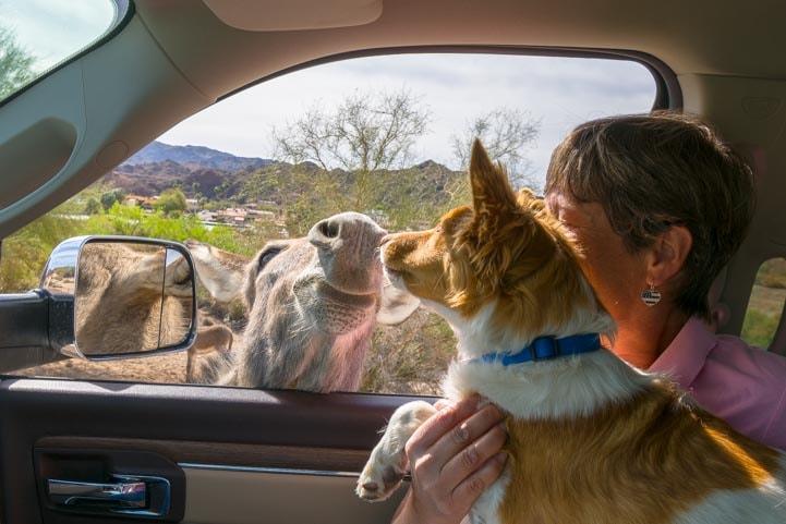 Puppy meets a wild burro at the car window Parker Dam Road California RV trip