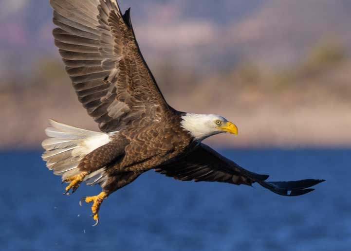 Flying bald eagle Lake Pleasant Arizona-min