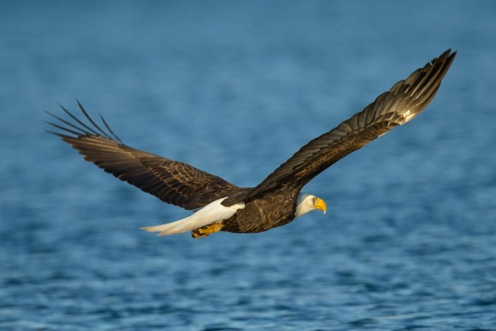 Bald eagle flying over Lake Pleasant Arizona-min