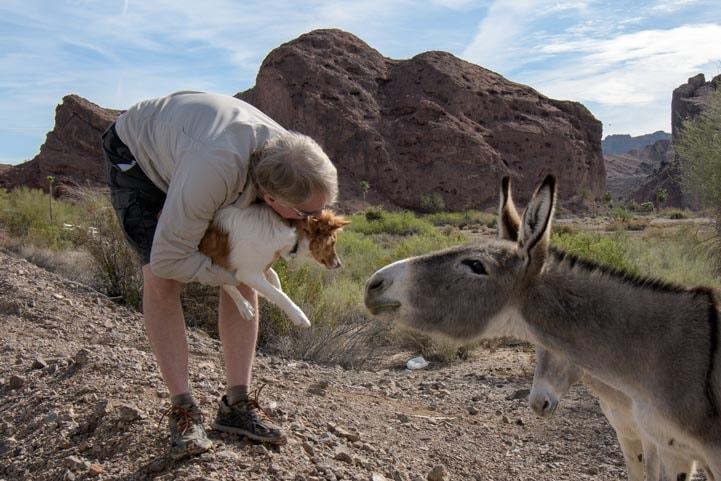 Introducing puppy to wild burro Colorado River Arizona RV trip