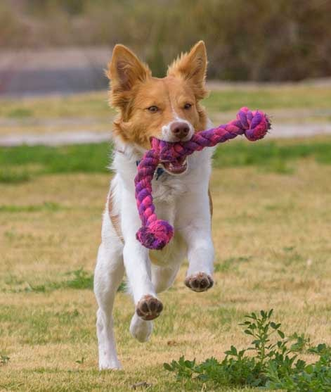 Puppy running with pink rope toy-min
